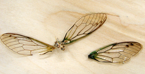 Cicada Wings (no insects were harmed)