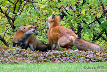 We stumbled upon three frisky foxes at the Montreal Botanical Gardens ©2014 WTEK